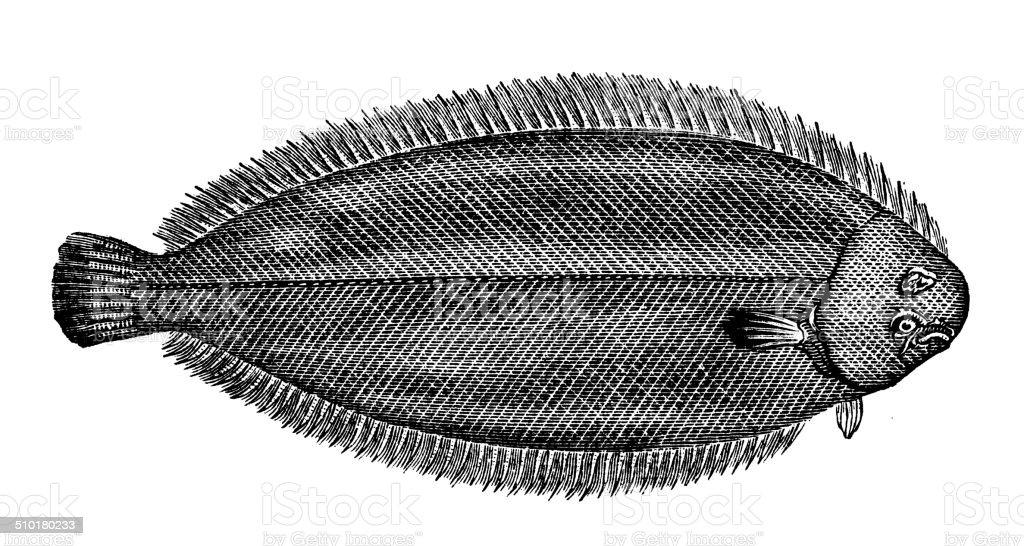 Antique illustration of common sole, Dover sole (Solea solea) vector art illustration