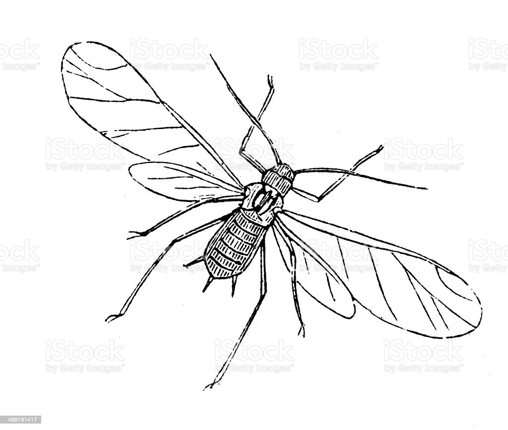 Antique illustration of Corn aphis vector art illustration