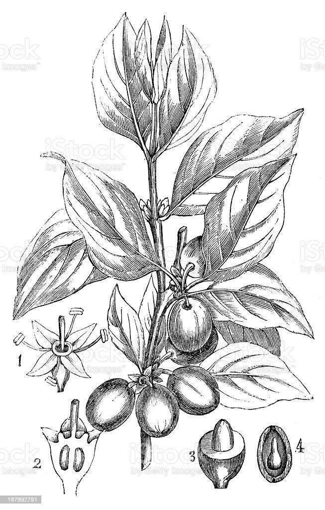 Antique illustration of Cornus mas (Cornelian cherry, European cornel, Dogwood) vector art illustration