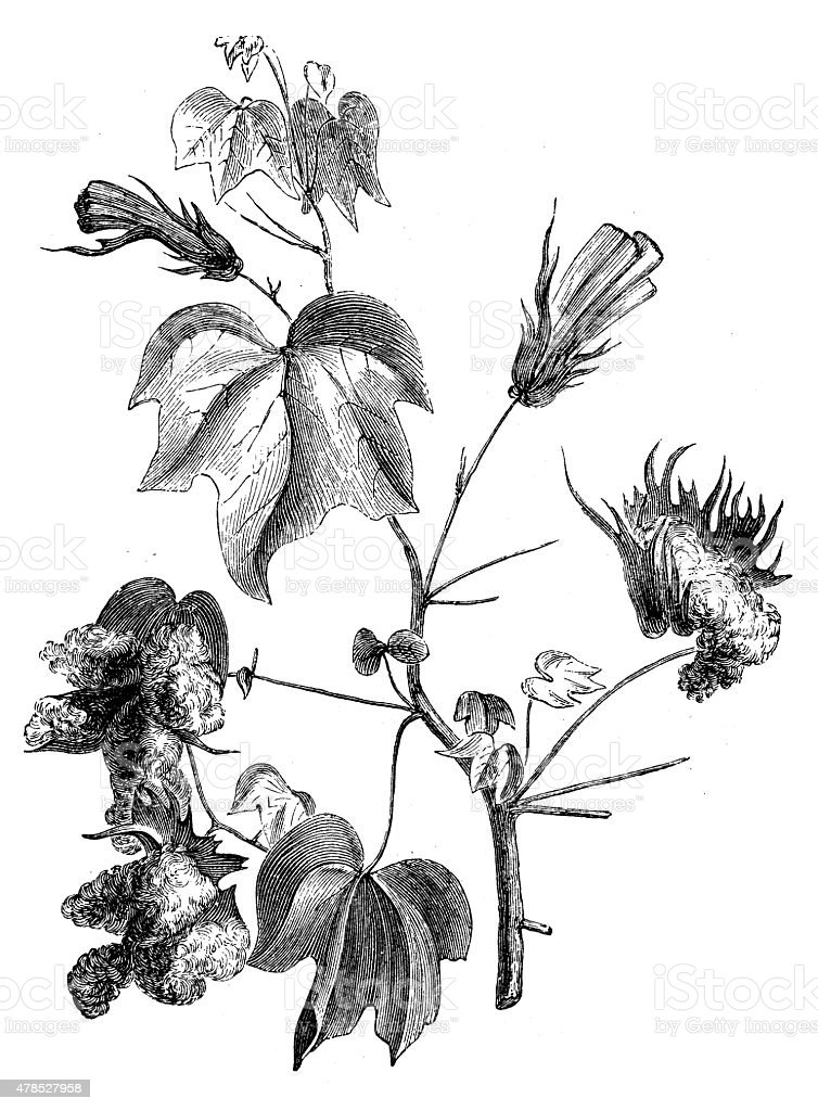 Antique illustration of cotton plant vector art illustration