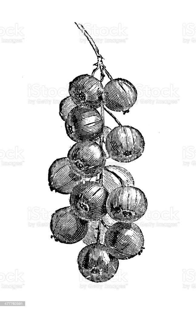 Antique illustration of currant vector art illustration