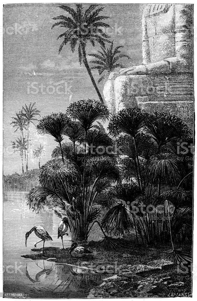 Antique illustration of Cyperus papyrus (papyrus sedge) vector art illustration