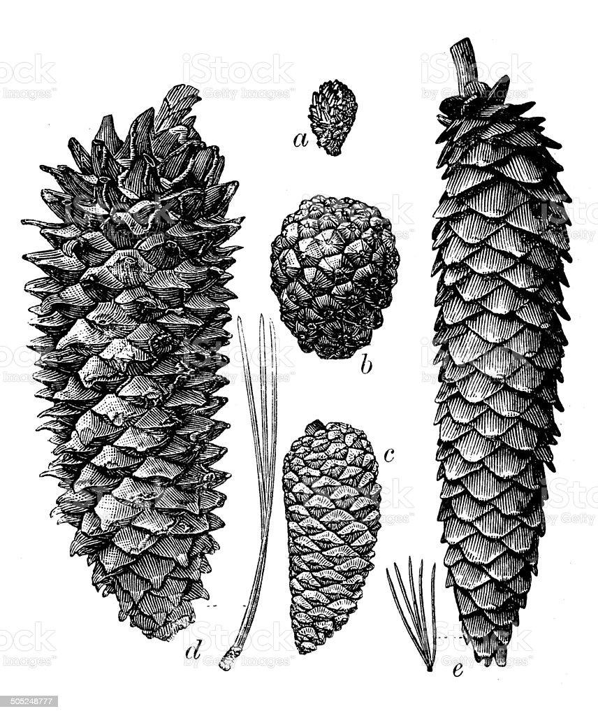 Antique illustration of different pine cones vector art illustration