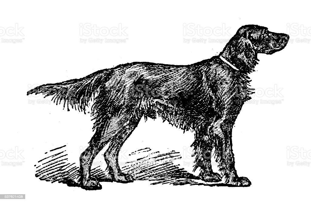Antique illustration of dog (Irish Setter) vector art illustration