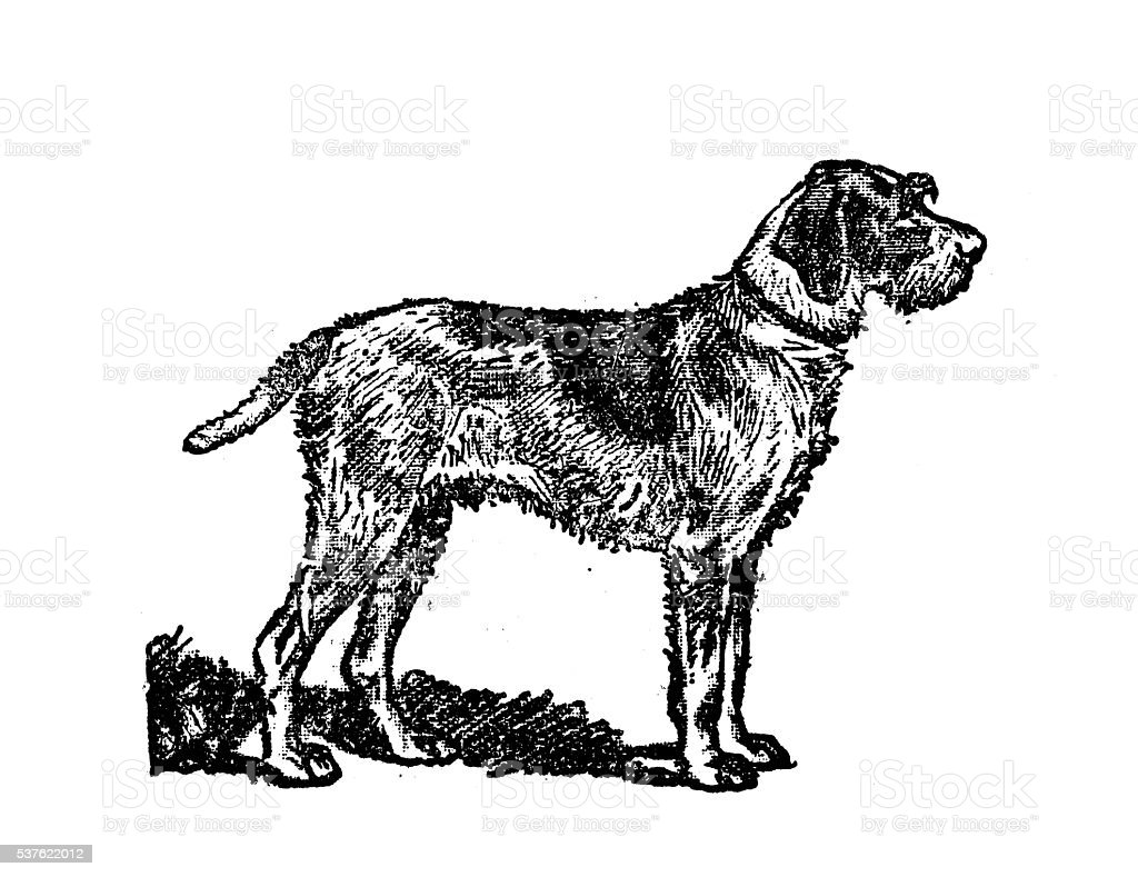 Antique illustration of dog (Wirehaired Pointing Griffon) vector art illustration