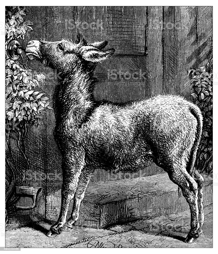 Antique illustration of donkey vector art illustration