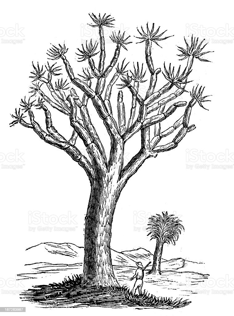Antique illustration of Dracaena draco (Canary Islands dragon tree) vector art illustration