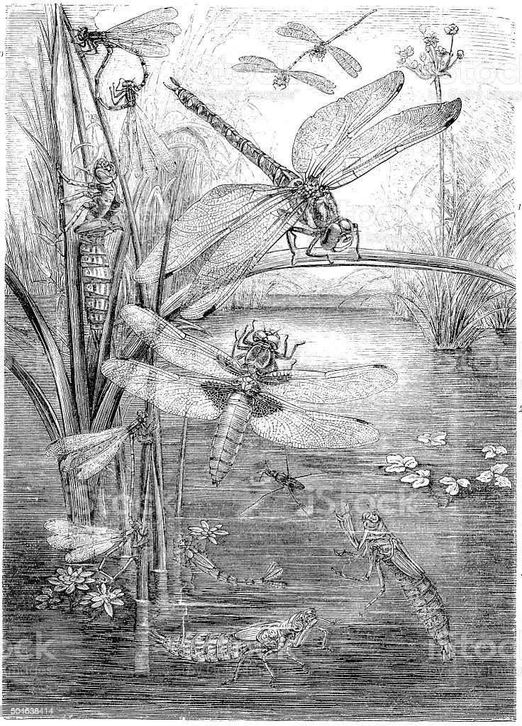 Antique illustration of dragonfly vector art illustration