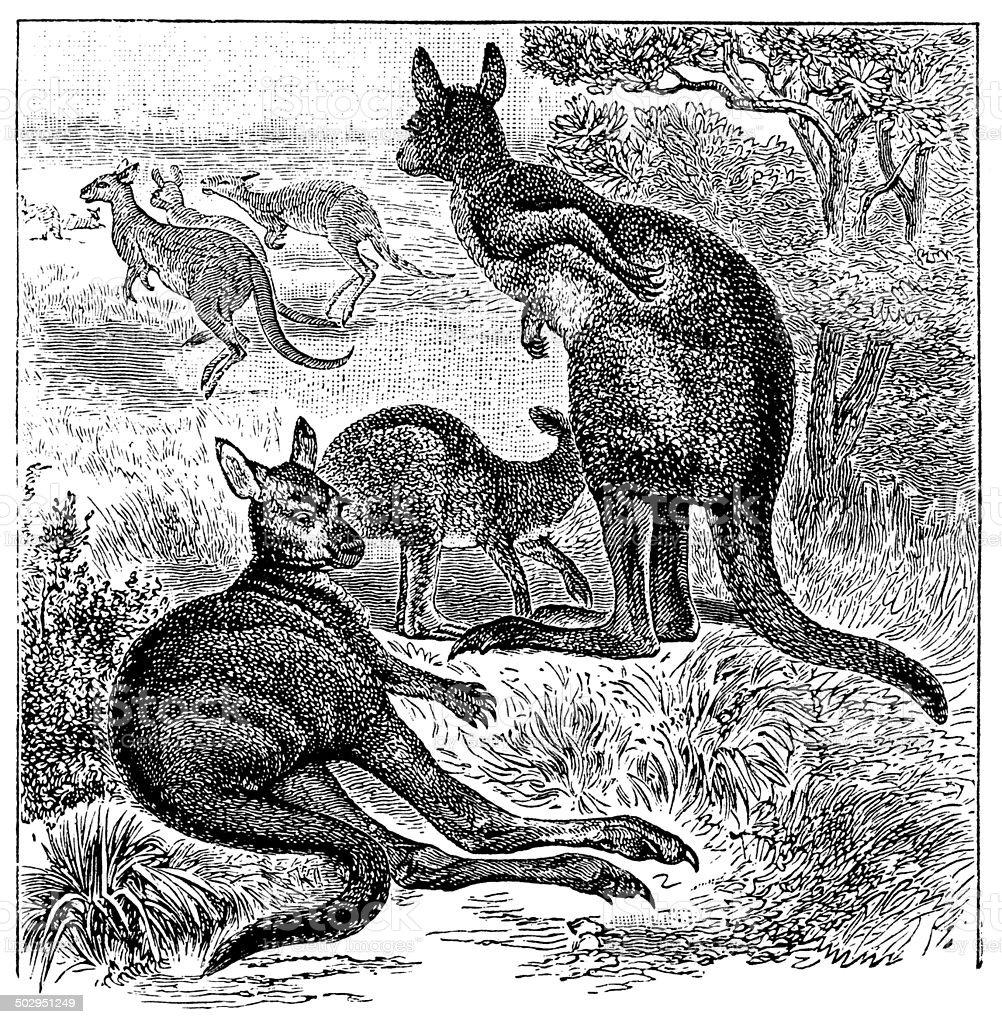Antique illustration of eastern grey kangaroo (Macropus giganteus) vector art illustration