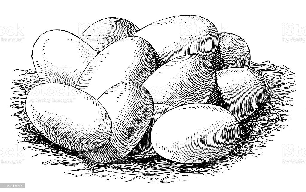 Antique illustration of eggs of the common snake vector art illustration