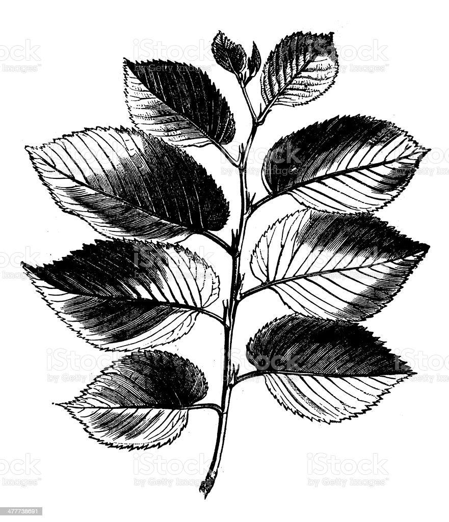 Antique illustration of elm branch vector art illustration