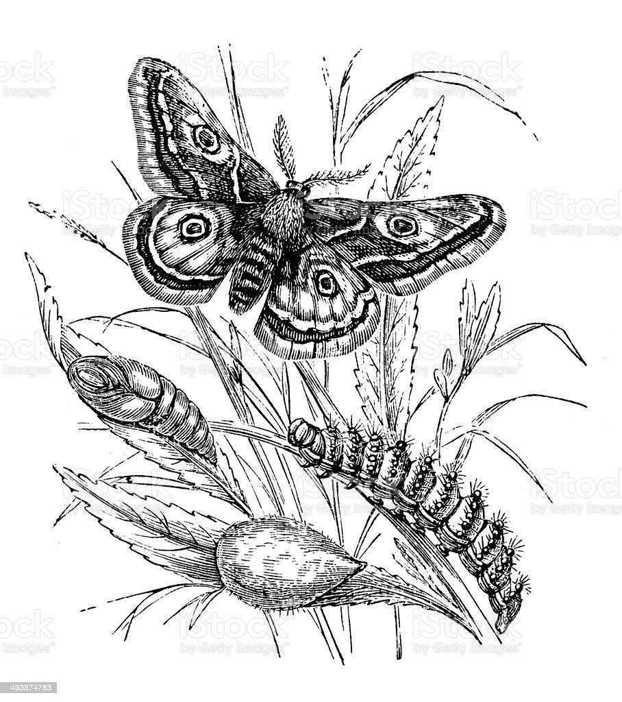 Antique illustration of Emperor Moth vector art illustration