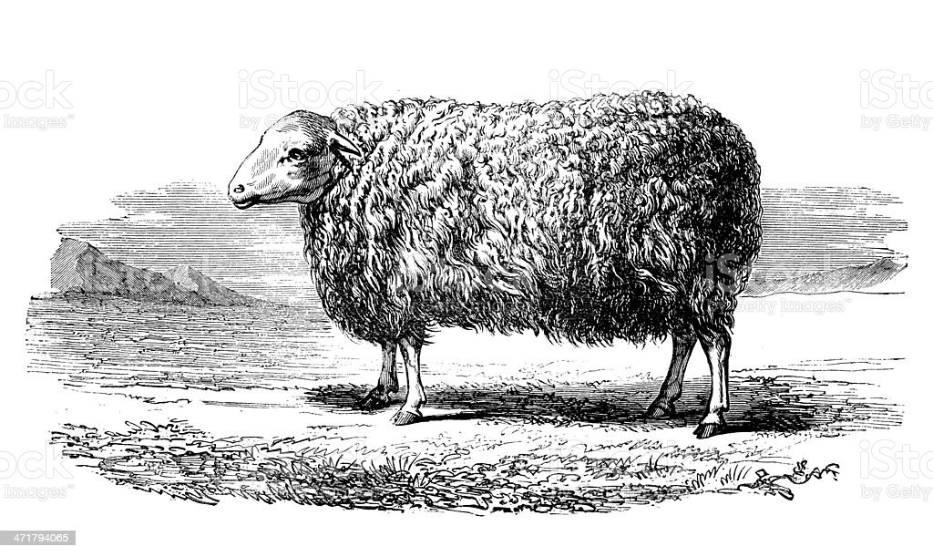 Antique illustration of English Leicester sheep royalty-free stock vector art