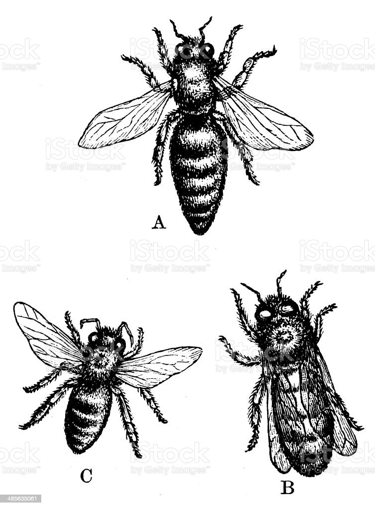 Antique illustration of European honey bee (Apis mellifera) vector art illustration