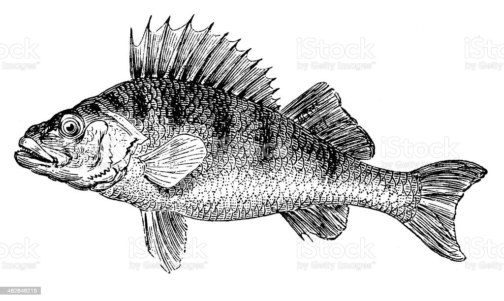 Antique illustration of European perch (Perca fluviatilis) vector art illustration