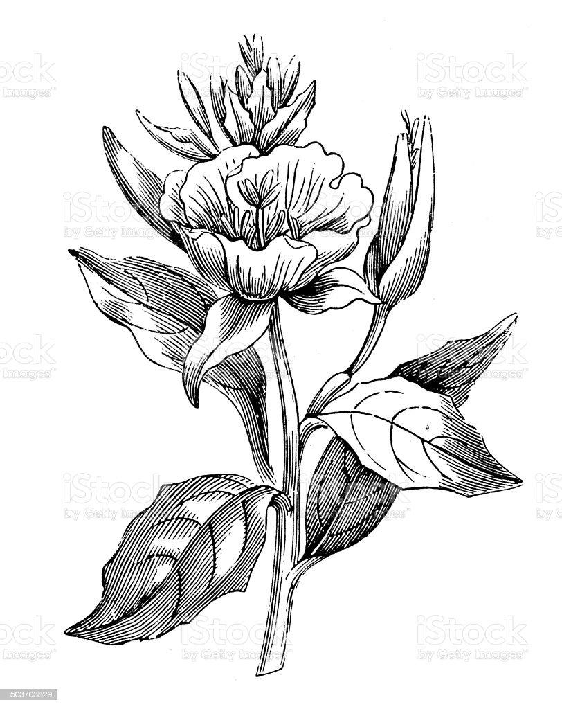 Antique illustration of evening primrose (oenothera biennis) vector art illustration