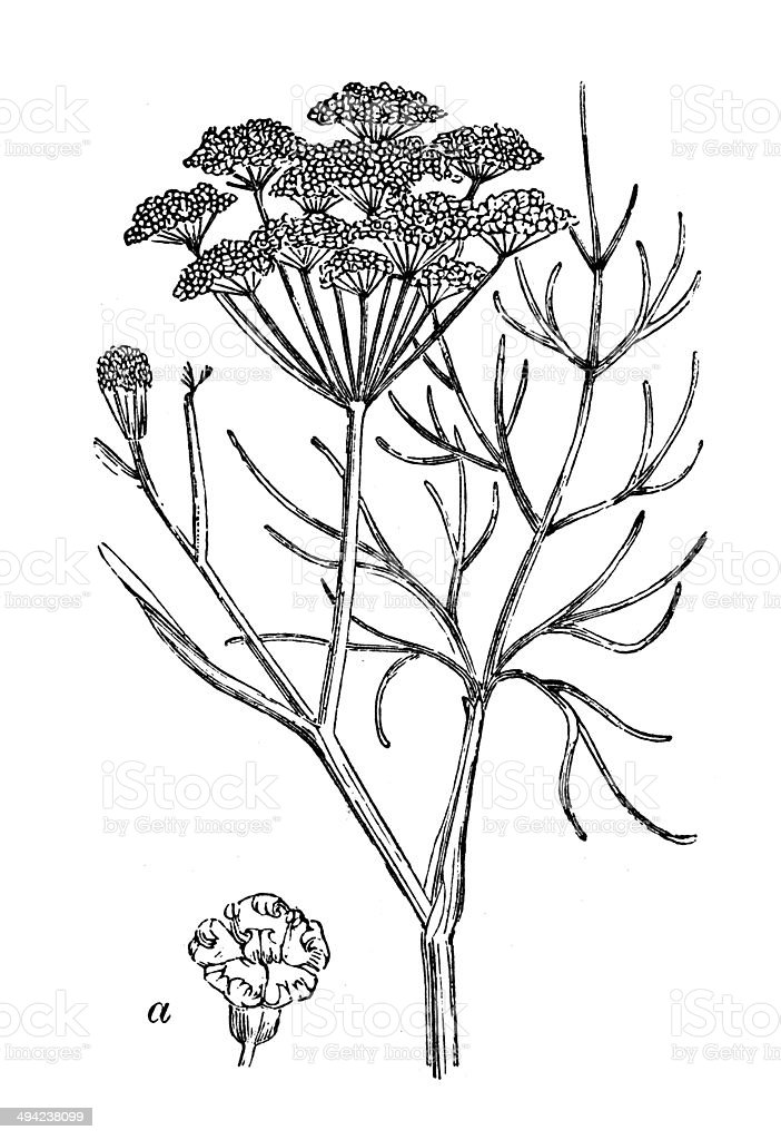 Antique illustration of Fennel (Foeniculum vulgare) vector art illustration
