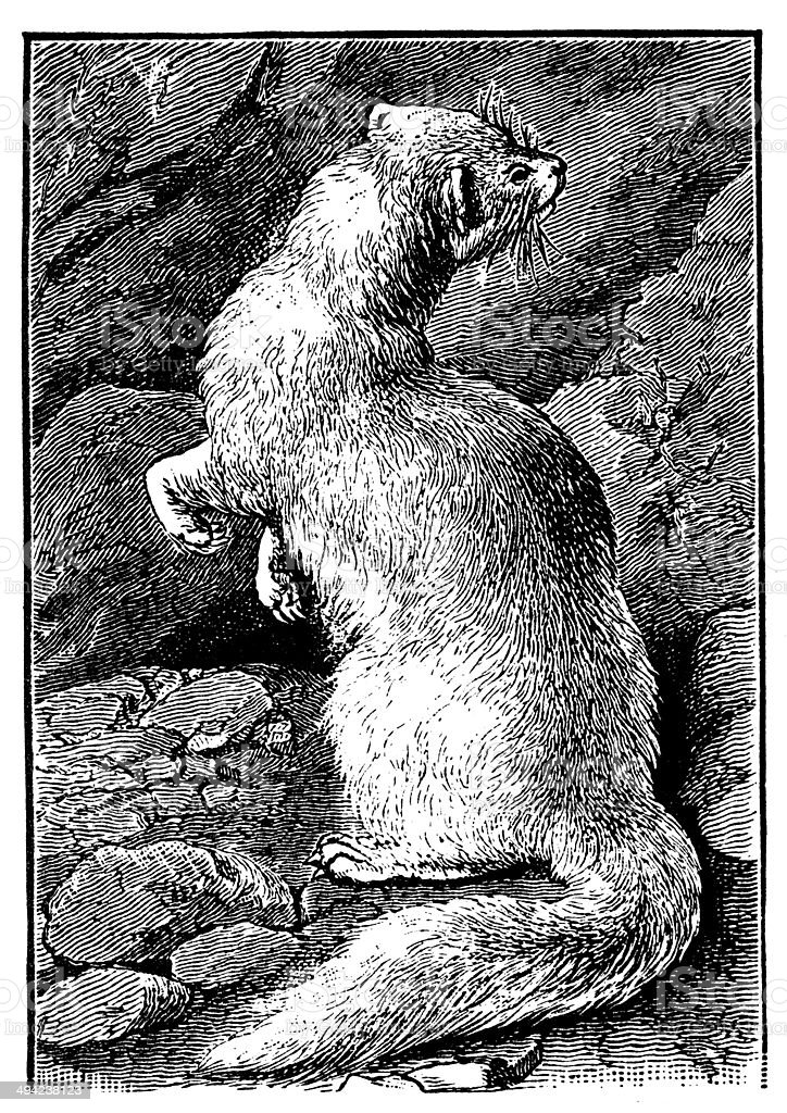 Antique illustration of ferret (Mustela putorius furo) royalty-free stock vector art