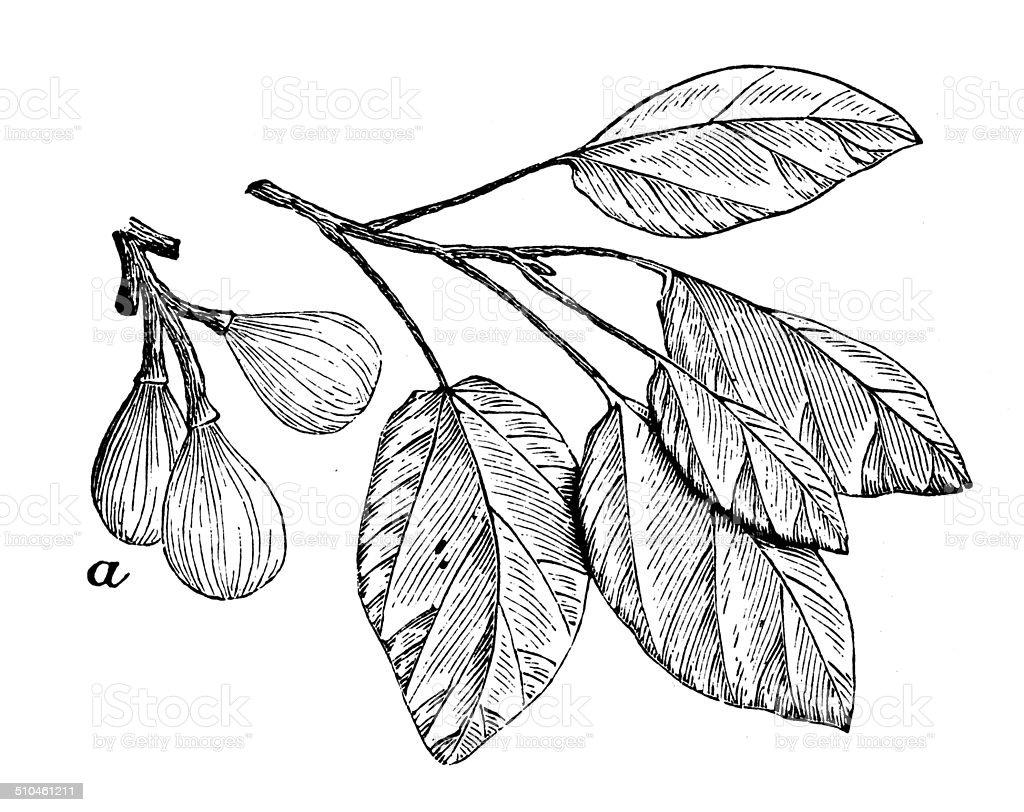 Antique illustration of Ficus sycomorus (sycamore fig) vector art illustration