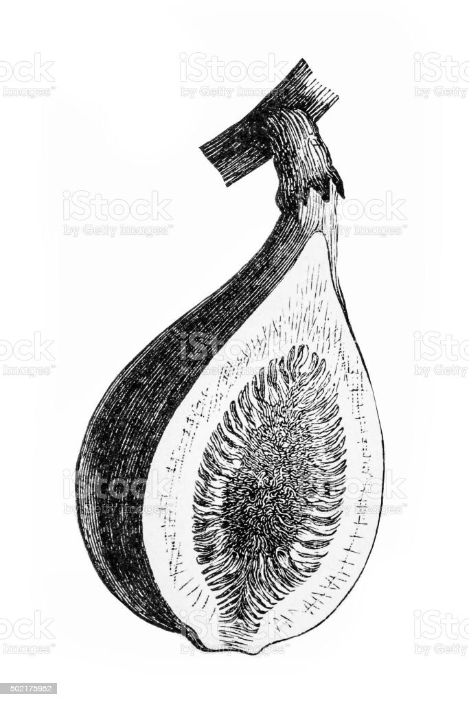 Antique illustration of fig section vector art illustration