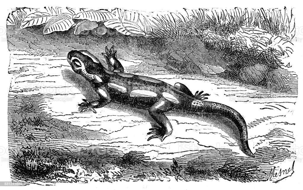 Antique illustration of fire salamander (Salamandra salamandra) vector art illustration