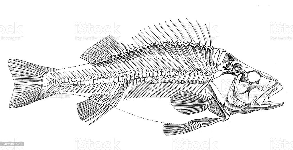 Antique illustration of fish skeleton vector art illustration