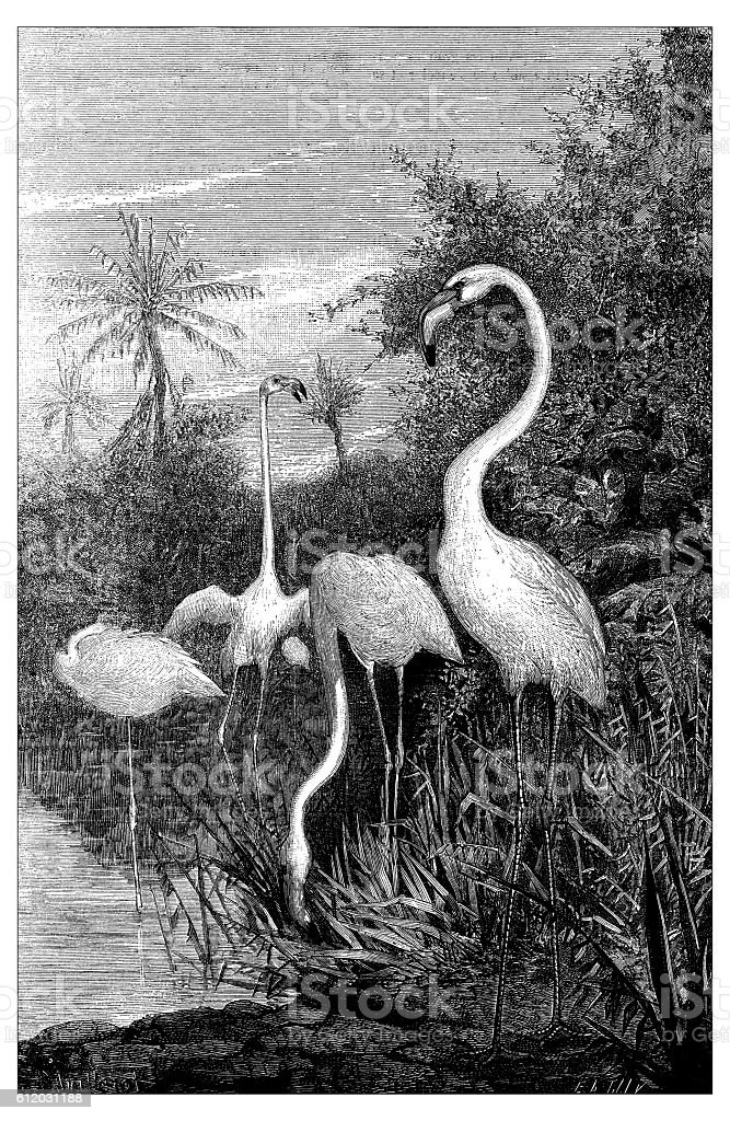 Antique illustration of flamingo birds vector art illustration