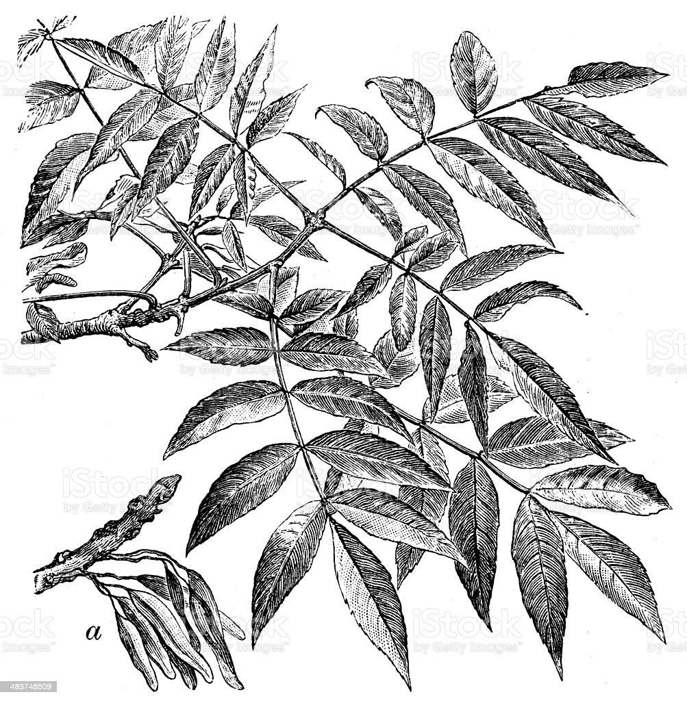 Antique illustration of Fraxinus excelsior (European ash or common ash) vector art illustration