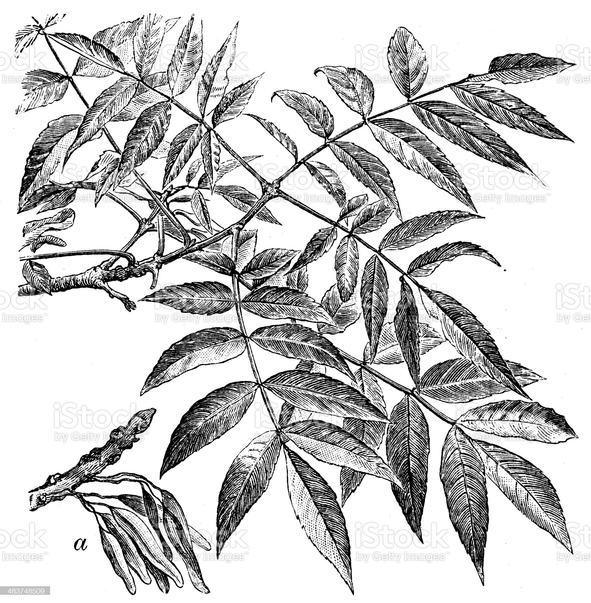 Antique illustration of Fraxinus excelsior (European ash or common ash) royalty-free stock vector art