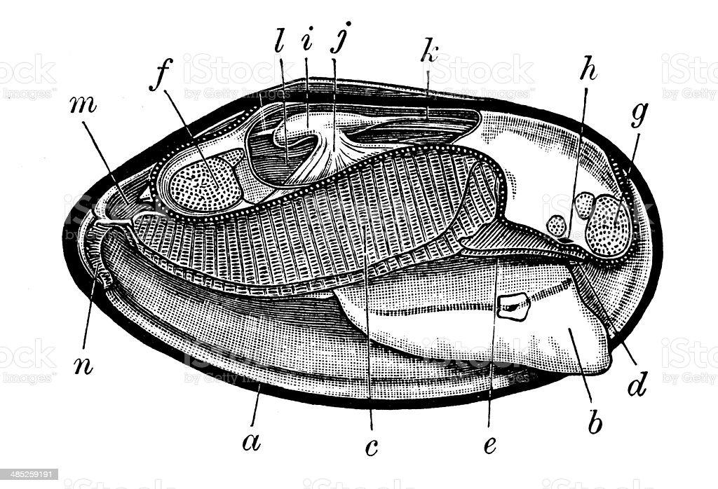 Antique illustration of freshwater mussel section vector art illustration