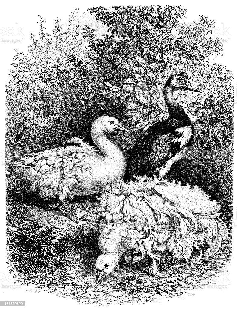 Antique illustration of geese outdoor in park royalty-free stock vector art