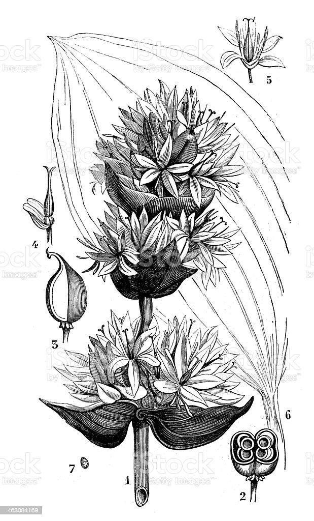 Antique illustration of Gentiana lutea (great yellow gentian) vector art illustration