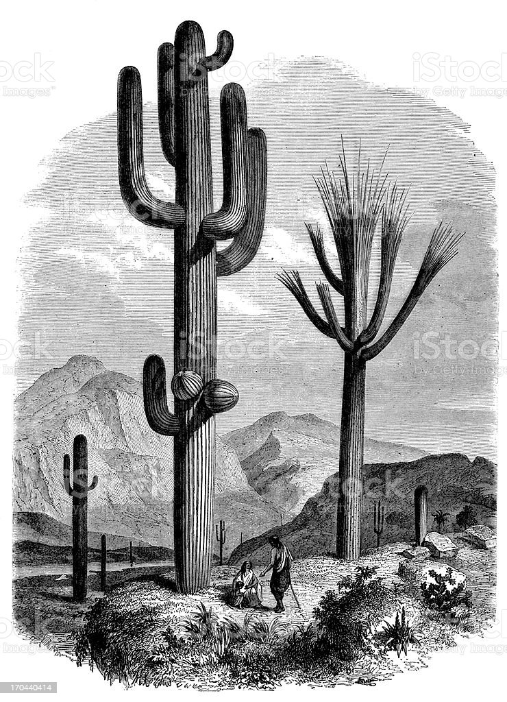 Antique illustration of giant cactus (Cereus giganteus) with people vector art illustration
