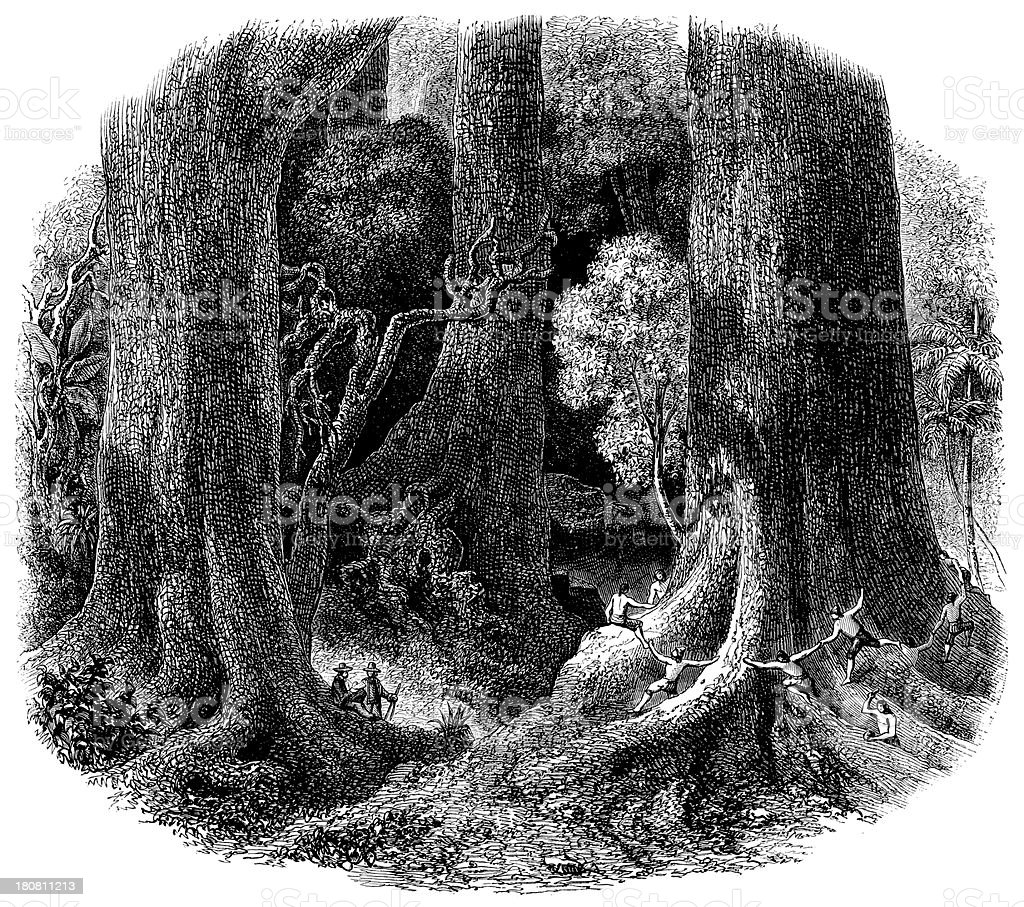 Antique illustration of giant trees in Brazil royalty-free stock vector art