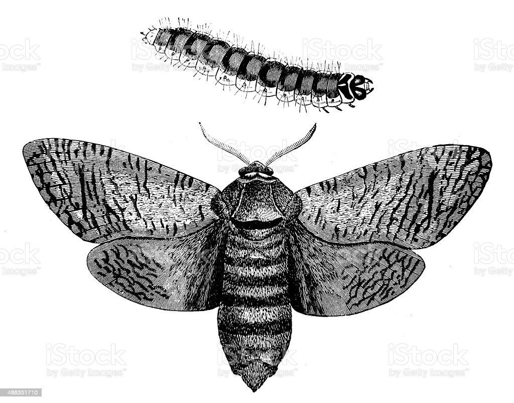 Antique illustration of Goat Moth (Cossus cossus) and its larva vector art illustration