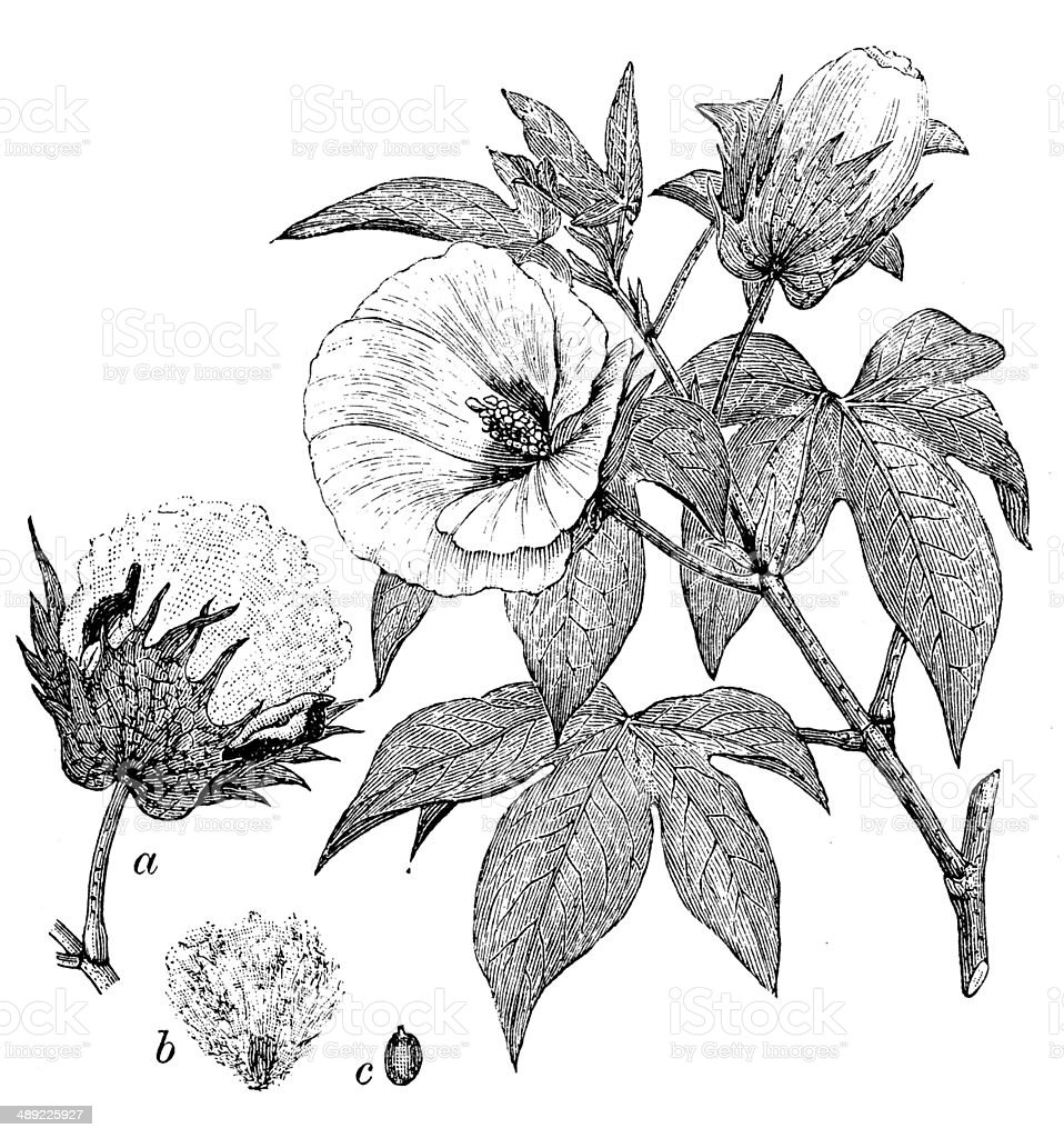 Antique illustration of Gossypium barbadense (extra long staple cotton) vector art illustration