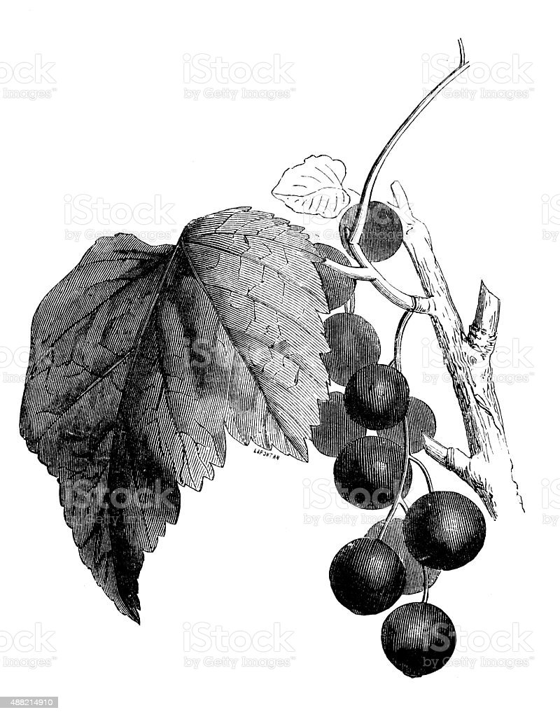 Antique illustration of grape vector art illustration