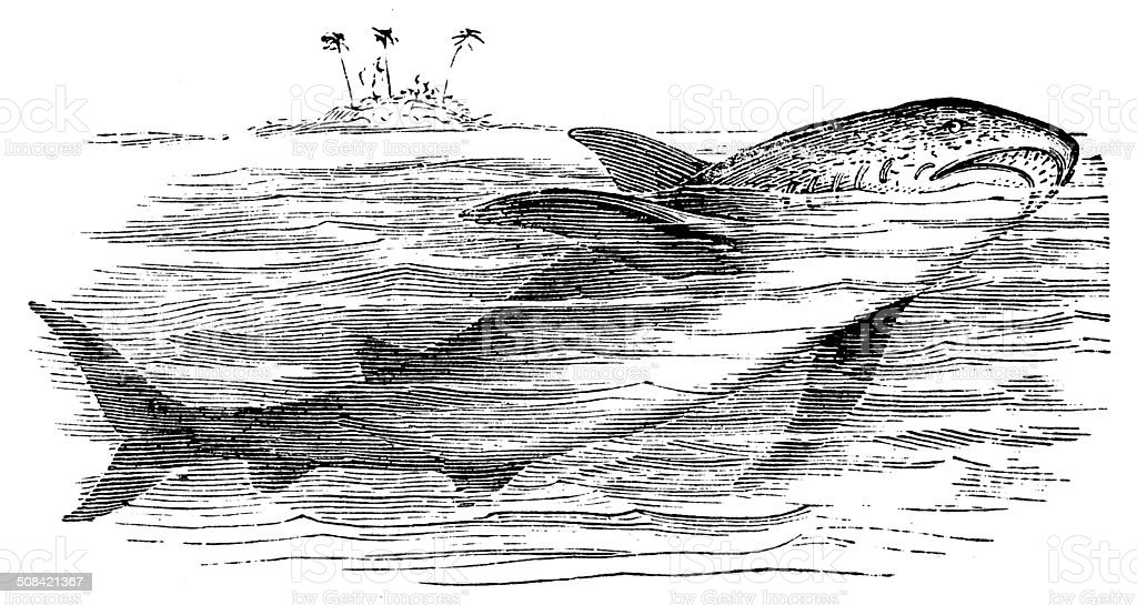 Antique illustration of great white shark (Carcharodon carcharias) vector art illustration