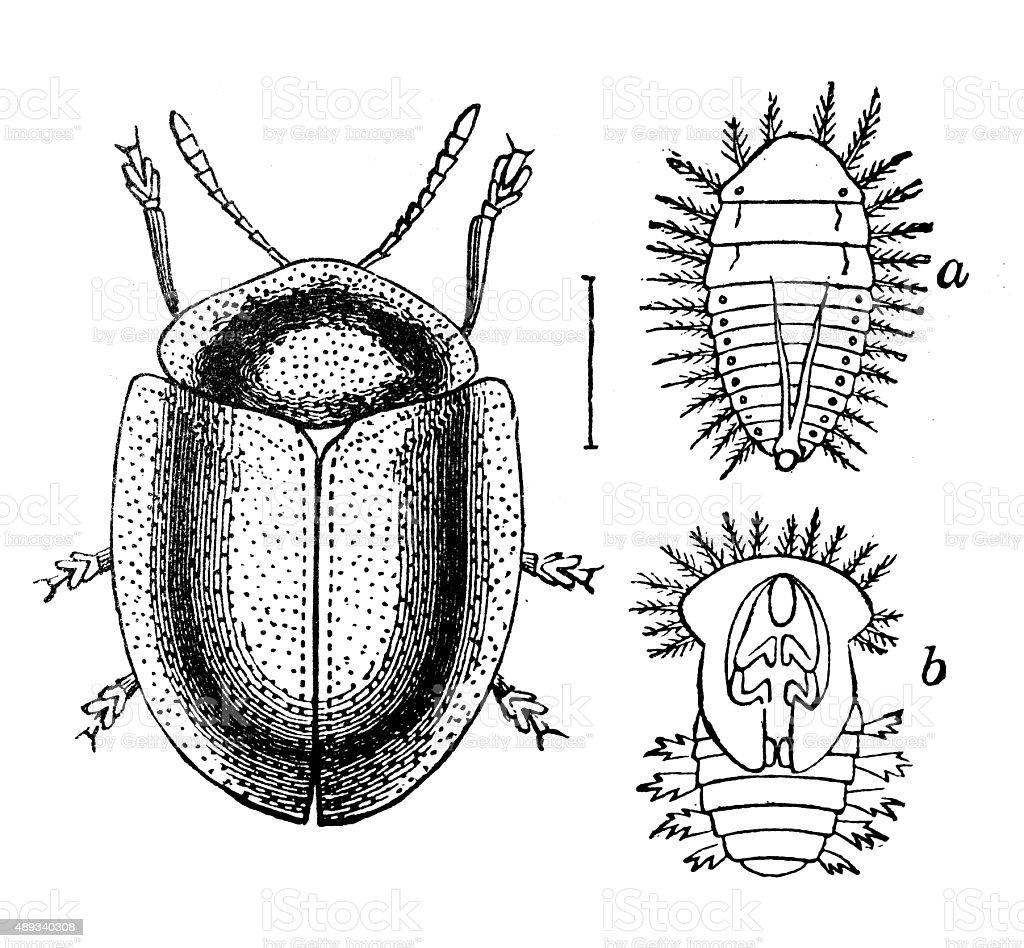Antique illustration of green tortoise beetle (Cassida viridis), larva, pupa vector art illustration