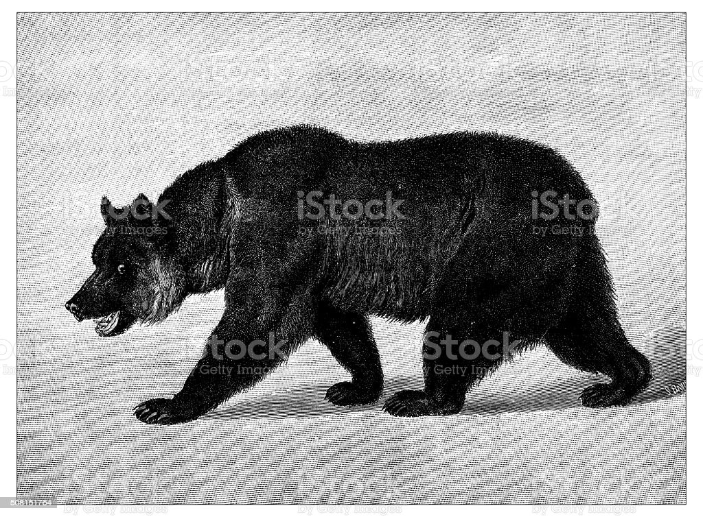 Antique illustration of Grizzly bear vector art illustration