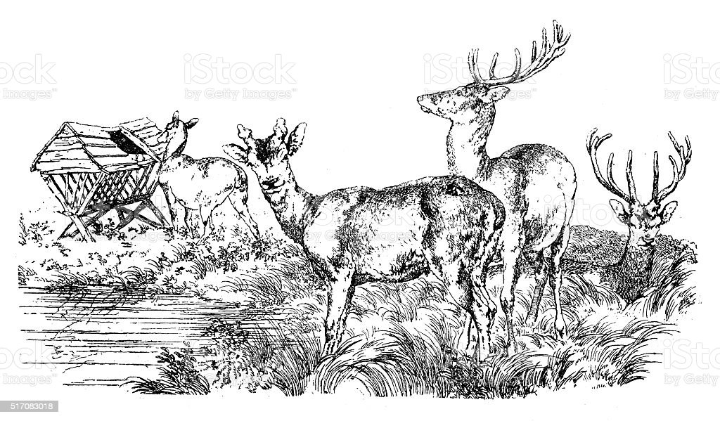 Antique illustration of group of deer, stag at the pond vector art illustration