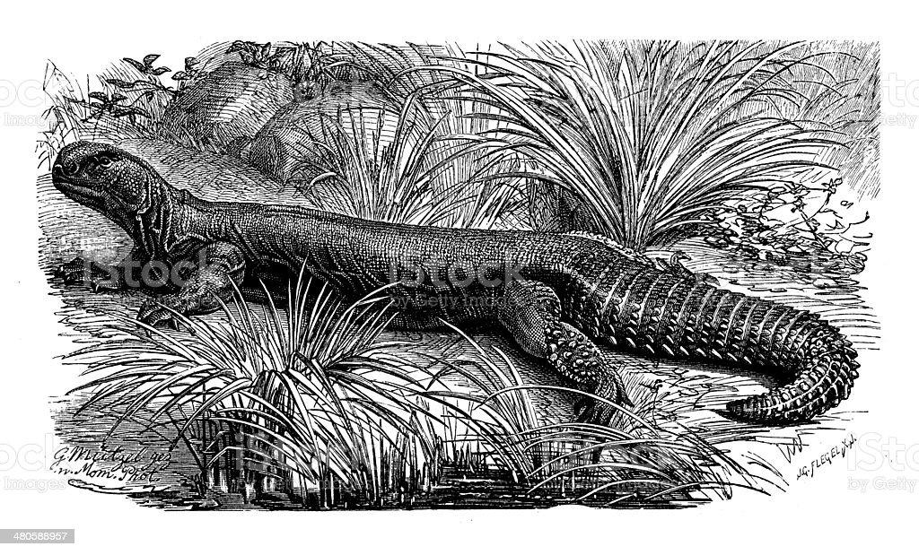 Antique illustration of Hardwicke's or Indian spiny-tailed lizard (Saara hardwickii) royalty-free stock vector art
