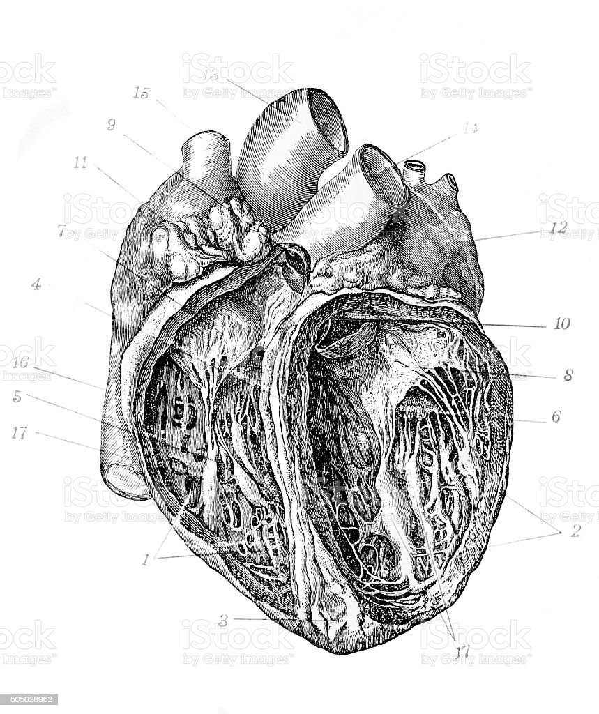 Antique illustration of heart vector art illustration