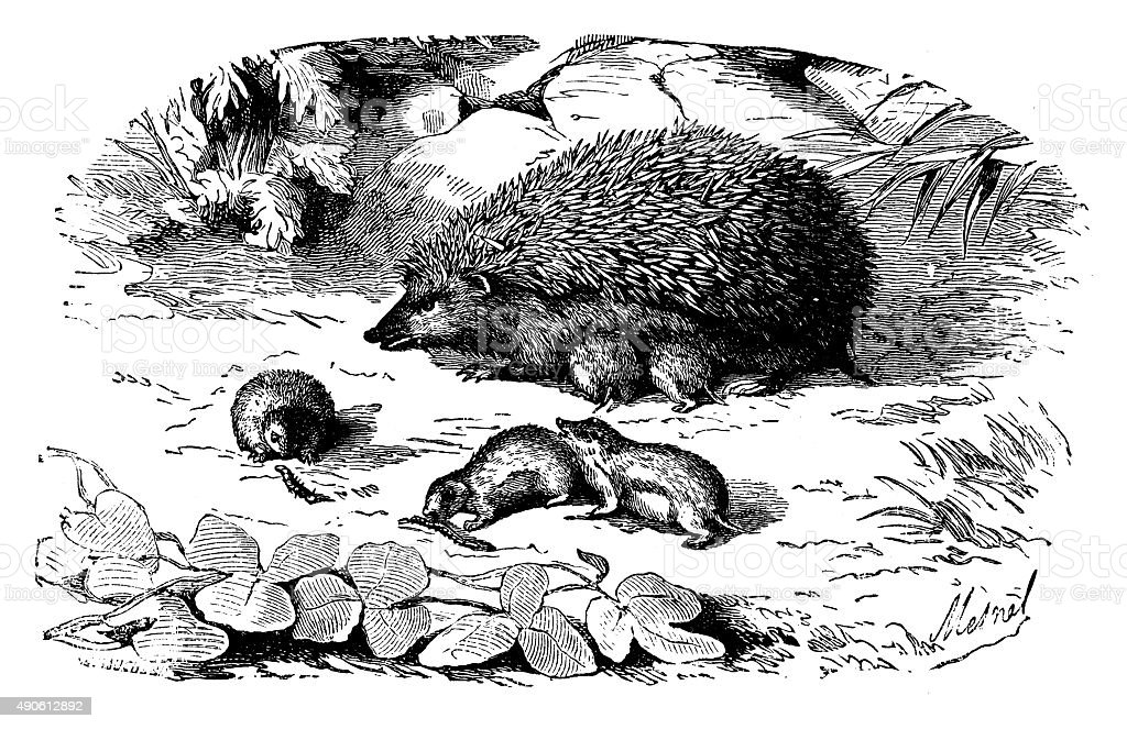 Antique illustration of hedgehog with its puppies vector art illustration
