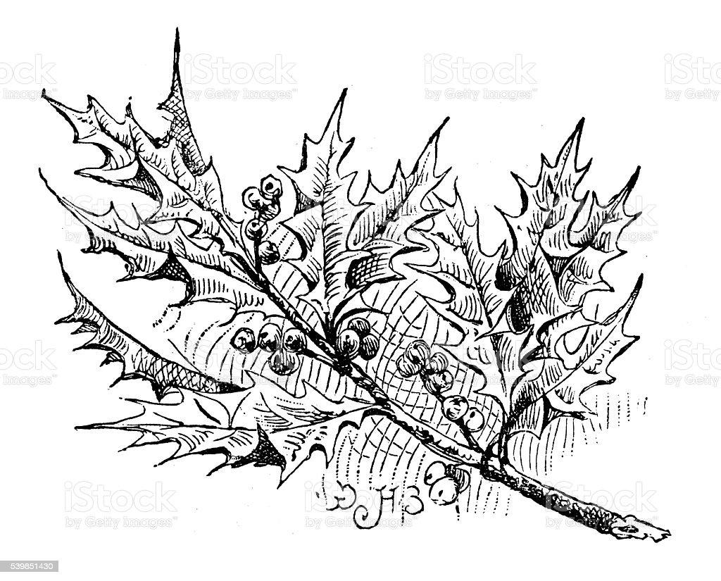 Antique illustration of holly vector art illustration