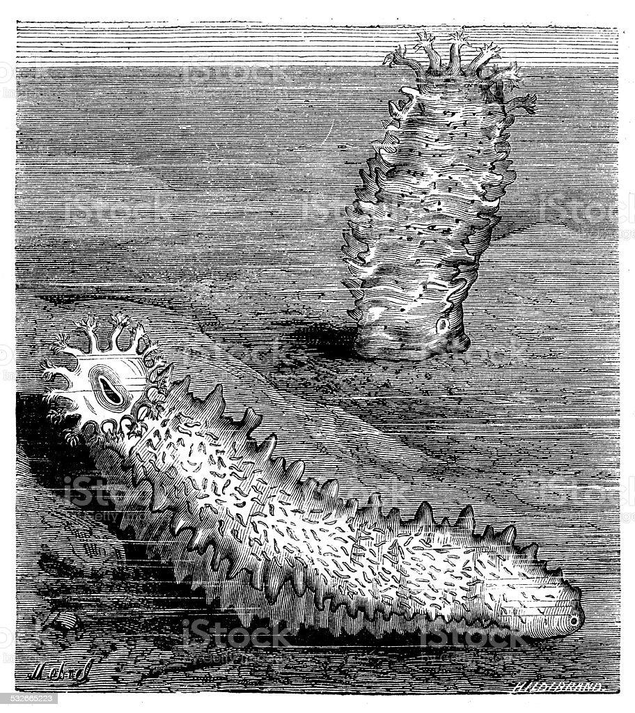 Antique illustration of holothuria lutea vector art illustration