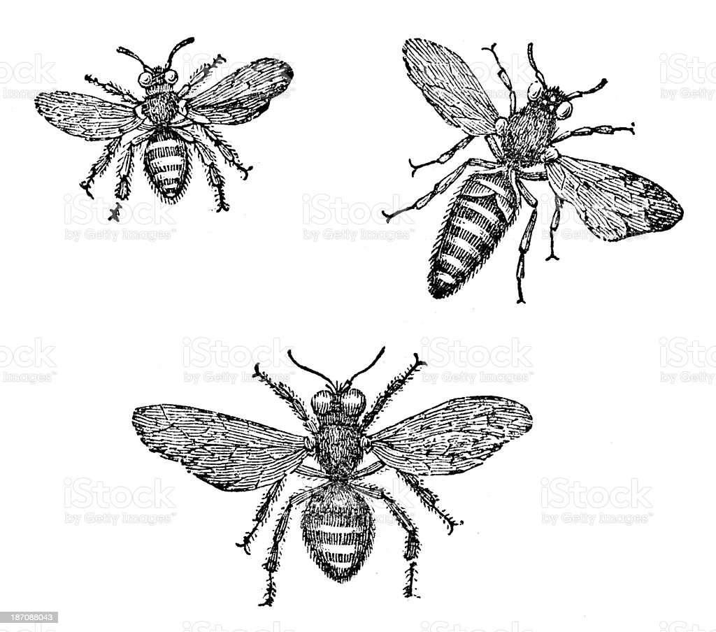 Antique illustration of honey bee (male, female, queen) vector art illustration