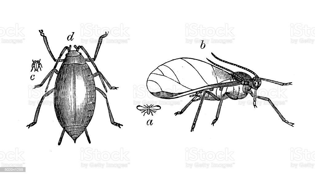 Antique illustration of hop aphis (aphis humuli) vector art illustration