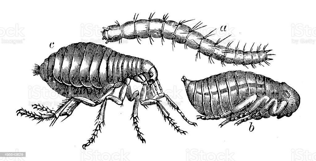 Antique illustration of human flea (Pulex irritans) metamorphosis vector art illustration