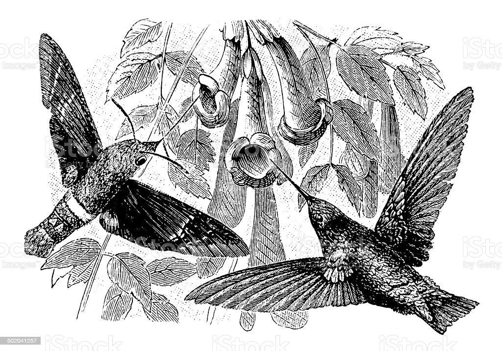 Antique illustration of Hummingbird and Hummingbird hawk-moth vector art illustration